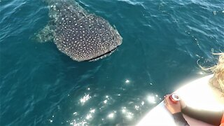 Massive whale shark amazingly swims around boaters