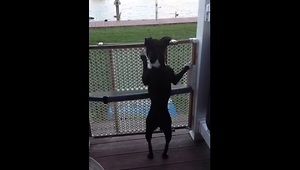 Boston terrier jumps like a pogo stick - Video