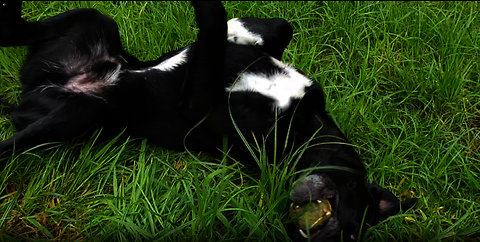 Crazy Happiest Dog Ever Rolling in Tall Grass: Benji The Borador