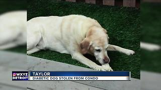 Diabetic dog stolen from Taylor condo - Video