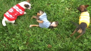 chihuahuas playing on the grass very cute dressed - Video