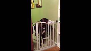 Genius dog learns how to open gate - Video