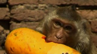 Five-star Monkey Feast - Video