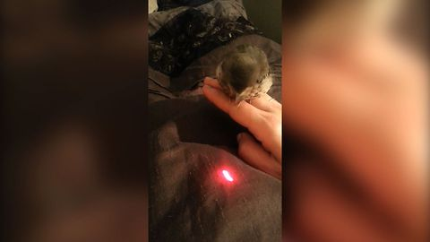 Baby Bird Loves Laser Pointer
