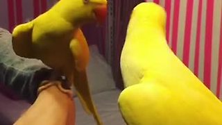 Parrot plays peekaboo with his reflection - Video