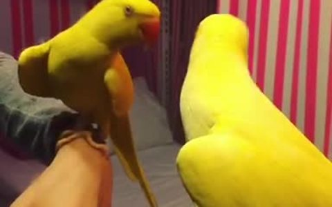 Parrot plays peekaboo with his reflection