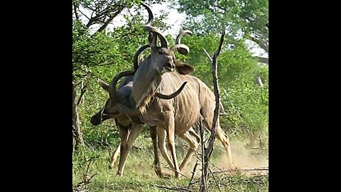 Male kudu antelope use their majestic horns during dominance fight