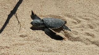 Baby Turtle Scurries From the Nest to the Sea - Video