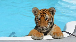 Baby Tigers Learn How To Swim