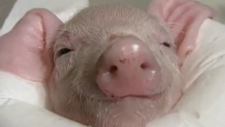 Cutest Pig Gets Warm Bath - Video