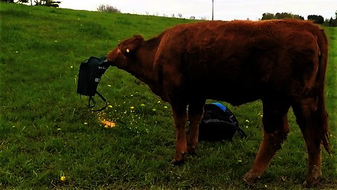 Clever cow learns how to smoothly deal with corn in a bag