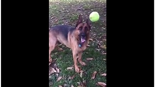 Clumsy Dog With Poor Fetch Skills Struggles To Catch A Tennis Ball - Video