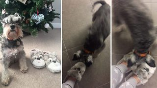 Shoe are you? Hilarious video shows 'terrier-torial' pooch bark furiously as M&S slippers look exactly like her - Video