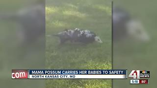 Don't mess with Mama possum - Video
