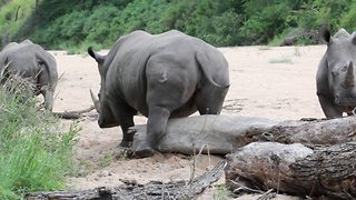 Rhino satisfies itch as it hilariously rubs itself against fallen tree - Video