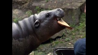 Paul The Baby Hippo - Video