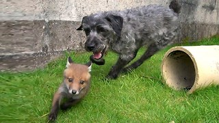 The Fox and the Hound: Tail-less Duo Are Best Friends - Video
