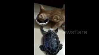 Dining cat prevents tortoise from spoiling its meal - Video