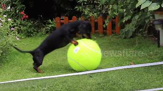 Sausage dog plays with giant tennis ball to mark Wimbledon 2017 - Video