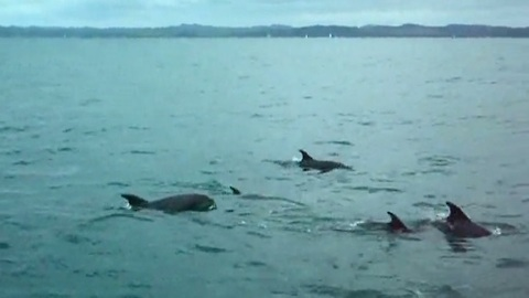 Friendly dolphins swim side-by-side with tourists