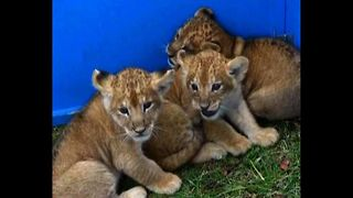 CUTE Lion Cub Triplets - Video
