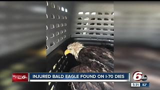 Injured Bald Eagle found on I-70 in Greenfield dies - Video