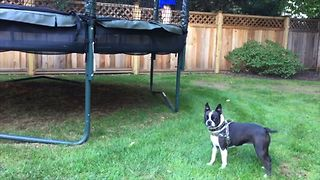 French Bulldog Loves Trampolines - Video