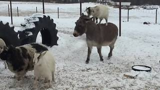 Goat casually hitches ride on back of donkey