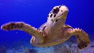 Join a baby Hawksbill sea turtle on its journey over the reef - Video