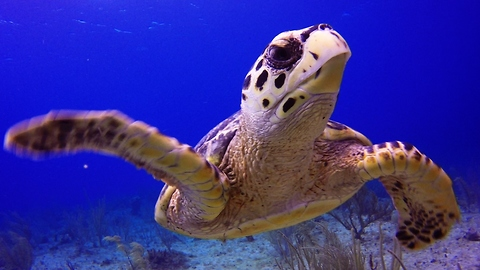 Join a baby Hawksbill sea turtle on its journey over the reef