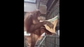 Genius Orangutan builds a cozy hammock - Video