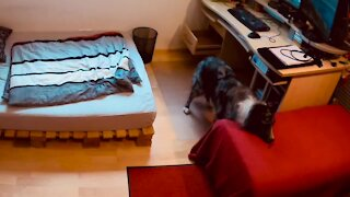 Intelligent Australian Shepherd outsmarts his owner, gets two treats