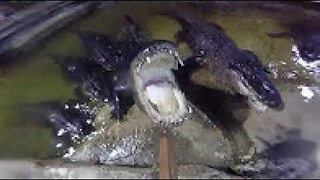 Man Feeds Alligators Food From His Own Mouth - Video
