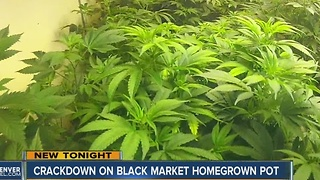 Crackdown on black market homegrown pot - Video