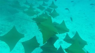 Snorkelers following spotted eagle rays witness incredible sight - Video