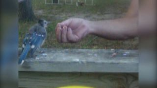 How To Befriend A Blue Jay - Video