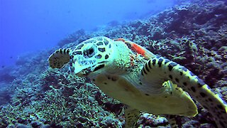 Friendly sea turtle greets and swims with delighted scuba diver