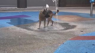 German Shepherd's fun playtime in water fountain