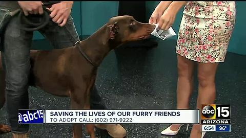 Dante The Doberman Was Hungry For A Script On ABC15 Mornings