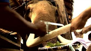 Elephant Tusk Trimming - Video