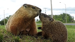 Gopher baby emerges from burrow to nurse from mother
