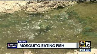 Mosquito eating fish released across Valley canals - Video