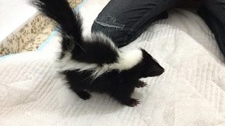 Energetic Baby Skunk Is Adorably Playful - Video