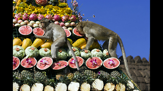 3000 Monkeys Have A Buffet - Video