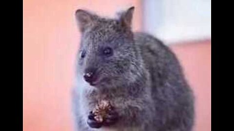 Cute Quokka Enjoys Breakfast on Australian Island Reserve
