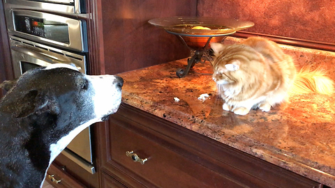 Great Dane furious that cat won't share treat