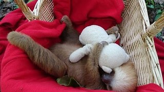 Ridiculously Cute Sloth Takes a Nap With a Teddy Bear - Video