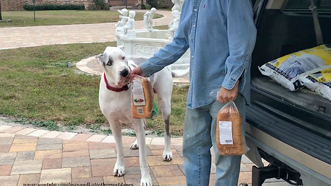 Excited Great Danes Can't Wait To Bring In Groceries