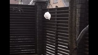 Fetch the Snowball – Determined Dog Has Eyes on the Prize
