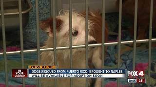 Rescue pups headed to Southwest Florida - Video
